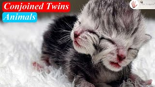 Strangest Animals Ever Seen: Conjoined Twins in Animals? ~ Body Bizarre!
