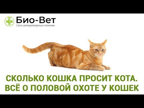 Сколько Кошка Просит Кота // Всё о Половой Охоте у Кошек // Сеть Ветклиник Био-Вет