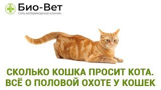 Сколько кошка просит кота. Всё о половой охоте у кошек. Ветеринарная клиника Био-Вет.