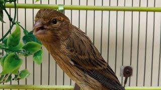 Gambar cover Gelatik Batu Harus Di Masteri Suara Burung Ini Supaya Bisa Ngerol Panjang