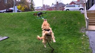 The Golden Retriever And The Flying Squirrel