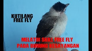 cara melatih free fly pada burung, kutilang free fly respon peluit