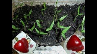Посев семян перца на рассаду  Эксперимент с перцем
