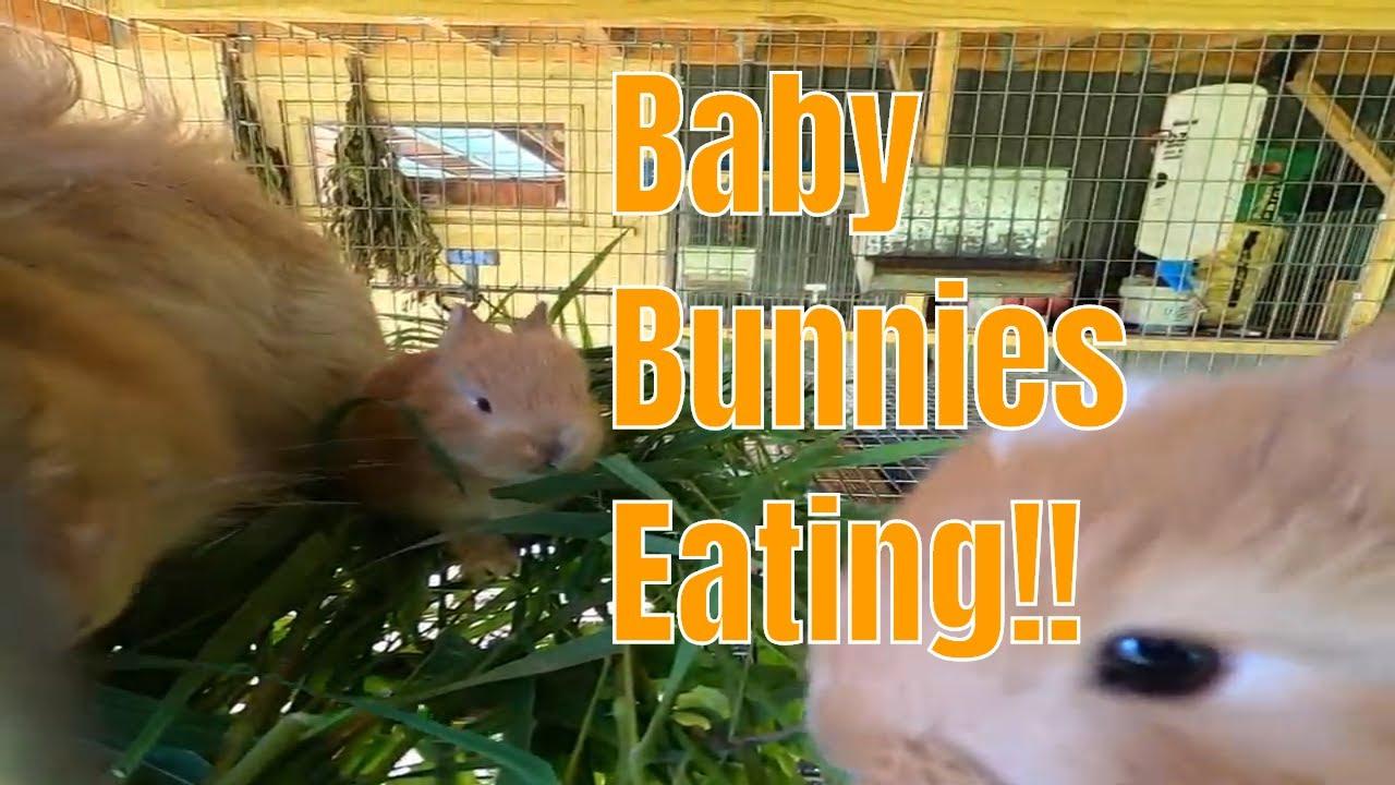 Baby bunnies eating
