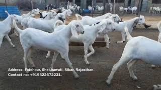 Altaf Goat Farm | Bakri Eid Goats | Best Eid Goats | Best Goat Farming | 2018