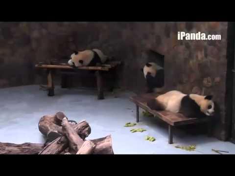 Panda Chengdu [1]15.06.14