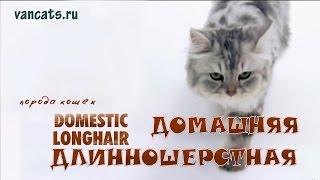 видео Британская длинношерстная кошка