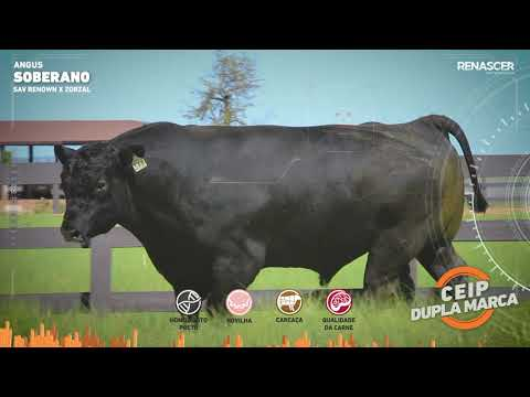 Touro Soberano - Aberdeen Angus - Sêmen Bovino - RENASCER BIOTECNOLOGIA VIDEO