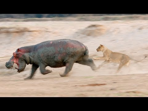 Lions on the Hunt | Love Nature
