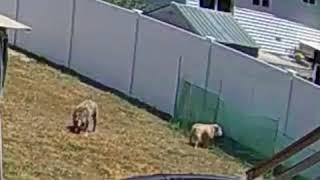 Khaleesi VS green fence