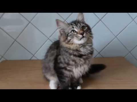 Сибирская кошка забавно трещит ртом, когда играет.