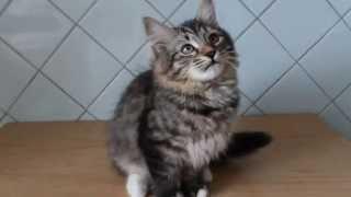 Сибирская кошка забавно трещит ртом, когда играет