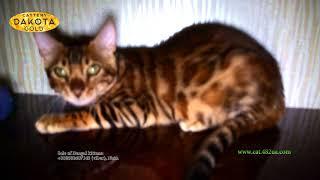Будни питомника, Dakota Gold, официальный питомник бенгальской кошки, Boy 3, съемка 20082018