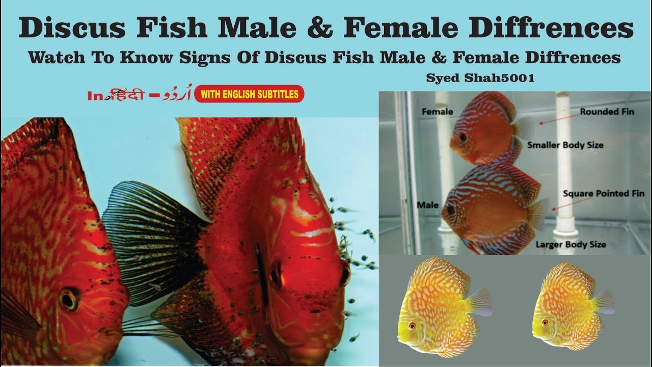 How To Find In Discus Fish Male Or Female Difference -4466
