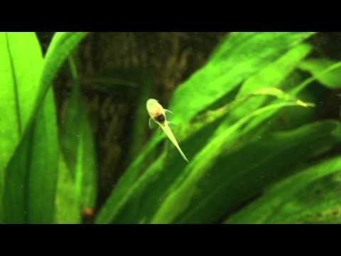 Albino Bristlenose Catfish (Ancistrus Sp.) - Fish Baby In HD!