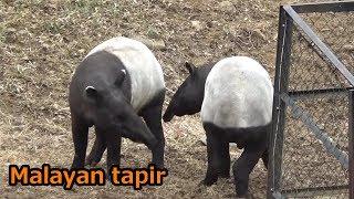 Cute Malayan tapir couple じゃれあうマレーバクが可愛い 【多摩動物公園】