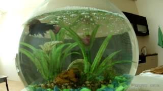 Рыбка Петушок , Икра , нерест