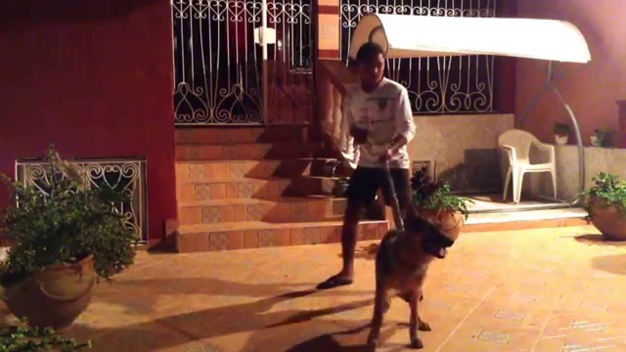Dresser un chien de 5 mois sur l'attaque : Yassine BAHIR