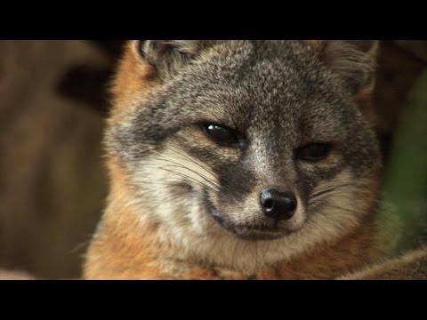 Island Fox Recovery