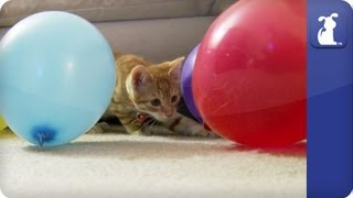 Cute Kitten Plays with Balloons