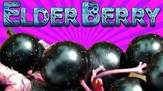 AMAZING!! Benifits of Elderberry (Sambucus Nigra)