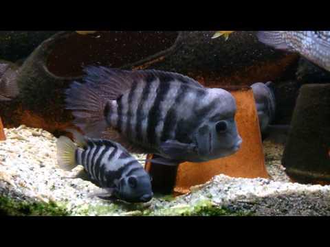 Big Male Convict Cichlid.