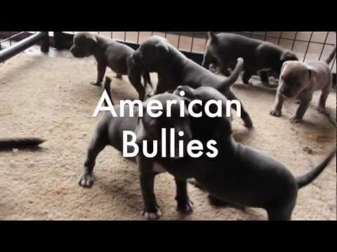 American Bully Pitbulls Puppys 4 Sale Razor Edge