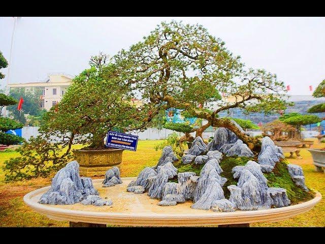 Siêu độc: bonsai ổi tàu nghìn trái 500 triệu không bán