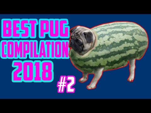 Pug Compilation 02  Funny Pug Videos Adorable Pug Compilation Cute Dog Videos (2018)