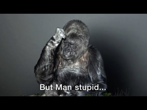 Koko Amazing Talking Gorilla - Befriends kitten & gorilla (r