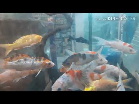 FUNNY JANITOR FISH CHASES KOI FISHES | MUST WATCH