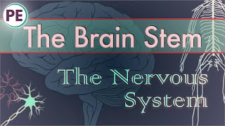 The Nervous System: Brain Stem and Cerebellum