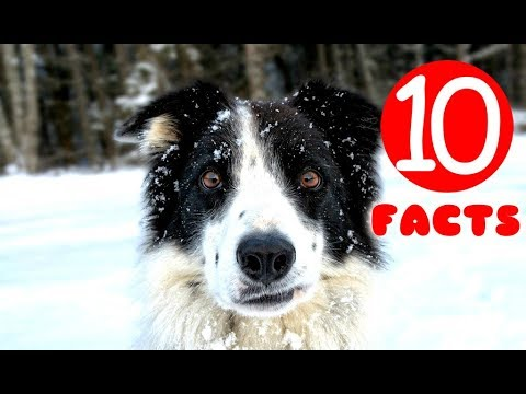 Border Collie 10 Facts that Prove it's a Perfect Dog Breed
