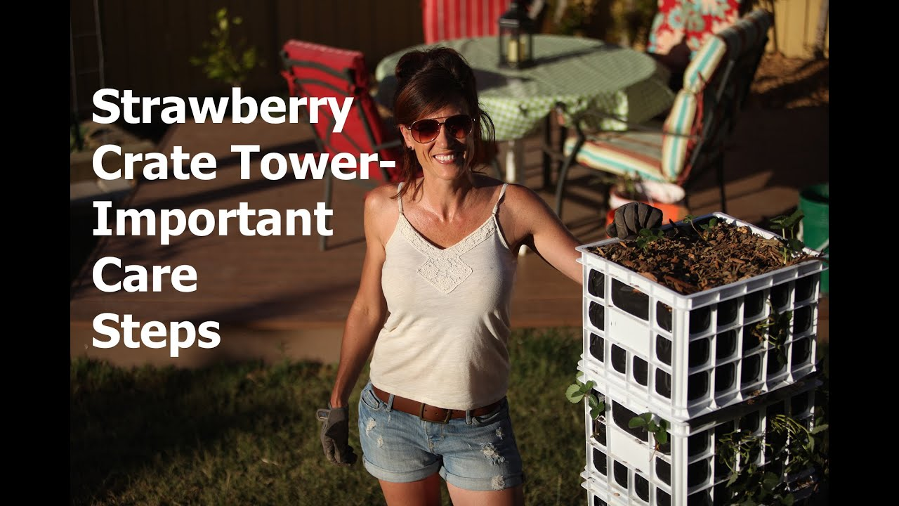 Strawberry Crate Tower Important Care Steps Youtube
