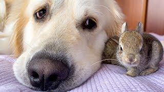 Lovely Golden Retriever has the Cutest Friends - Baby Bunnies!
