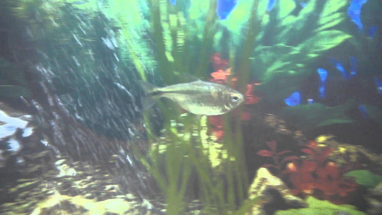 Freshwater aquarium fish help - Unknown Tropical Aquarium Fish Please Help