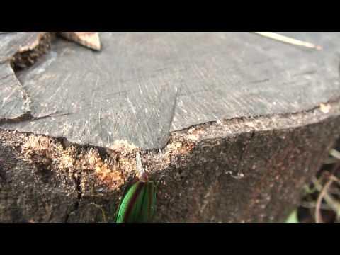 jewel beetle タマムシの産卵 Chrysochroa fulgidissima