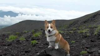 (hd) Goro@welsh Corgi 20090623 Mt.fuji