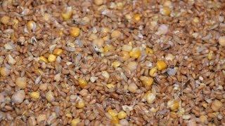 Замоченное и пророщенное зерно в рационе кур. Хозяйство Гуковские куры.