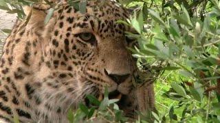 Леопарды редких пород Кавказского заповедника