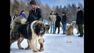 Чернобыльская Собака | Самая Большая Собака На Земле | Большая Собака В Мире