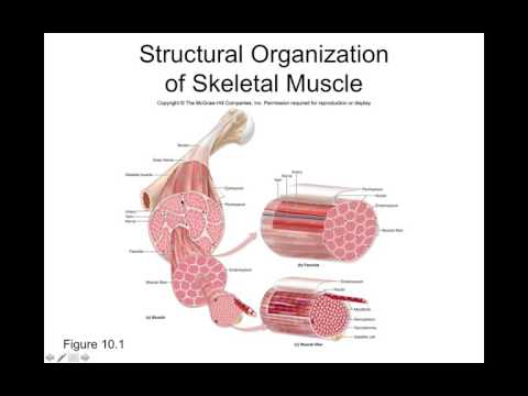 Chapter 10 Muscle Tissue Part1