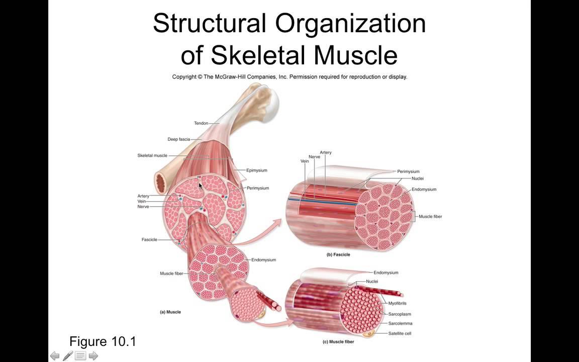 Niedlich Mcgraw Hill Anatomie Und Physiologie 10. Ausgabe Bilder ...