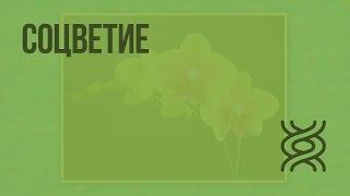 Соцветие. Видеоурок по биологии 6 класс