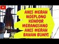 Anis Merah Ngeplong Kendor Merangsang Anis Merah Bahan Bunyi  Mp3 - Mp4 Download