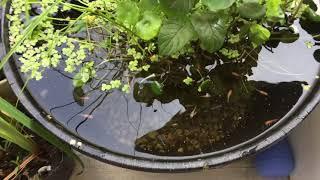ホームセンターのプランターでメダカビオトープ!ウォーターマッシュルームをトリミングしたらあの植物が台頭してきた