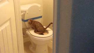Potty training a Savannah cat