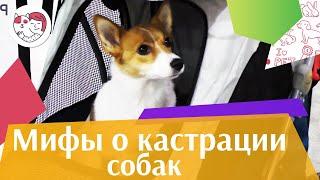 5 популярных мифов о кастрации собак
