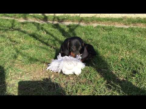 Standard size Dachshund Puppy for sale