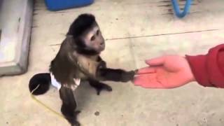 Смешные обезьяны! капуцин ПОКУПАЕТ газировку РЖАЧ(Смешные обезьяны! капуцин ПОКУПАЕТ газировку РЖАЧ Смешные обезьяны! капуцин ПОКУПАЕТ газировку РЖАЧ ..., 2015-12-27T21:47:12.000Z)